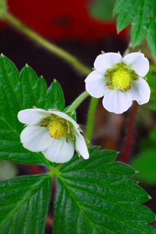 Free Strawberry Flowers Royalty Free Stock Photo - 27657545