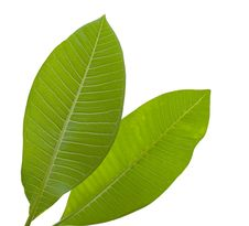Free Green Leaf Stock Images - 27658714