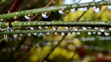 Free Raindrops On Bamboo Grass Stock Image - 27659801