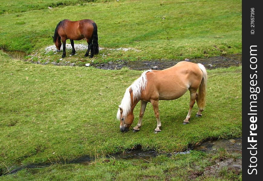 Grazing wild horses at the Alps