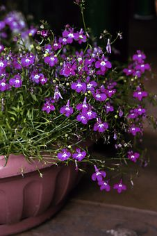 Free Labelle Purple Flowers Royalty Free Stock Image - 27661126