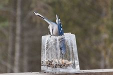Free Blue Jay Inside Ice Lantern Feeder Getting Seeds Stock Photo - 27661760