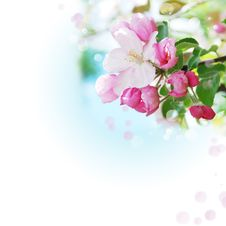 Free Blooming Apple Trees Royalty Free Stock Photos - 27661948