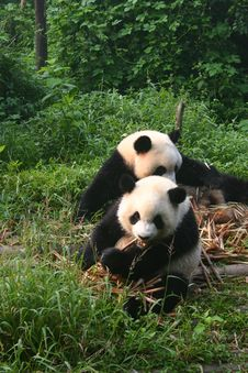 Free Panda S At Feeding Time Stock Photos - 27665283