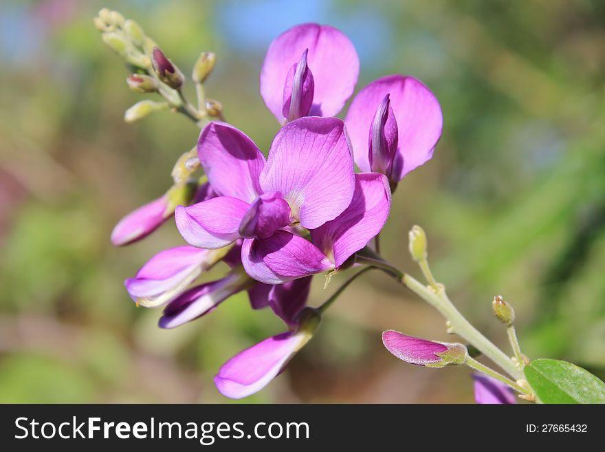 Wild flowers from Africa - Corckbush 3