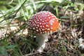 Free Amanita Muscaria Stock Photography - 27671292