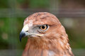 Free Close-up Of Hawk Stock Photo - 27679610