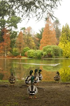 Free Ducks In Autumn Royalty Free Stock Photo - 27670635