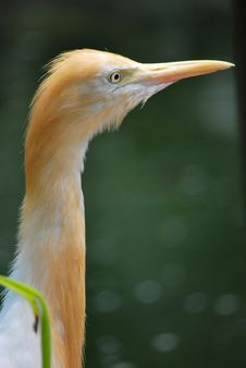 Orange Brown Cattle Egret Looking Sideways