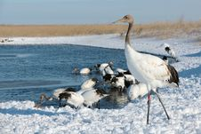 Free The Red-crowned Crane Standing Royalty Free Stock Photos - 27674578