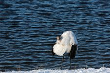 Free Lake Red-crowned Crane Stock Photography - 27674662