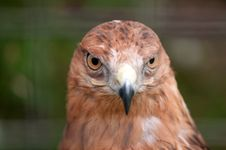 Free Close-up Of Hawk Stock Images - 27679624