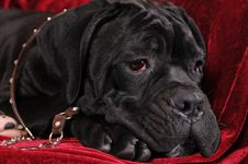 Free Black Cane Corso Puppy Portrait In Leather Collar Royalty Free Stock Photos - 27679628