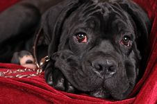Free Black Cane Corso Puppy Portrait Stock Photo - 27679690