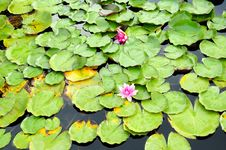 Free Water Lilies Stock Images - 27679844