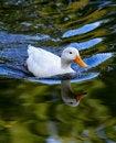 Free Duck Stock Photos - 27688283