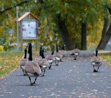 Free Geese March Stock Photography - 27683302