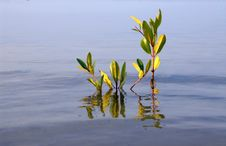 Young  Mangrove. Stock Photo
