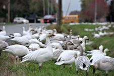 Free Goose In The City Stock Photo - 27684870