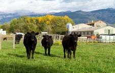 Free Cows Royalty Free Stock Photography - 27688307