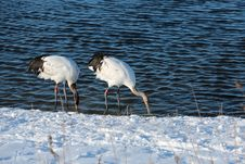 Free Lake Red-crowned Crane Royalty Free Stock Images - 27689079