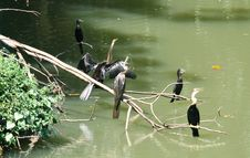 Cormorants Resting Royalty Free Stock Images
