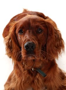 Free Irish Red Setter Royalty Free Stock Photos - 27691278