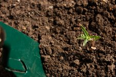 Green Thyme Gardening With Shovel Stock Photo