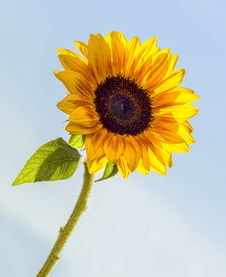 Free Sunflower In The Sky Stock Photos - 27694903