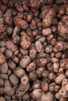 Free Unwashed, Earthy Potato Fresh From The Harvest Stock Image - 27695471