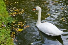 Free Swan In Autumnal Park, Cesis, Latvia Stock Photos - 27699153