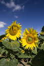 Free Sunflowers Stock Photo - 2776600