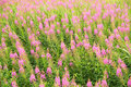Free Beautiful Pink Flower Field Royalty Free Stock Images - 2777649