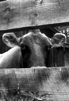Free Female Cow In Black And White Royalty Free Stock Photos - 2772108