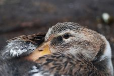 Free Dreaming Duck Stock Photos - 2772273