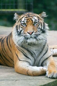 Free Tiger3.jpg Stock Photography - 2772642