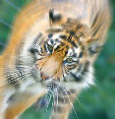 Free Tiger.jpg Stock Images - 2772734