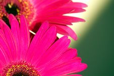 Free Two Gerberas Stock Images - 2773014