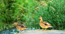 Free Two Wild Duck Royalty Free Stock Photography - 2773357