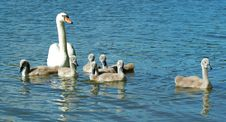 Free Family Swan Royalty Free Stock Image - 2773366