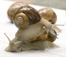 Free Grapevine Snail Royalty Free Stock Photos - 2773438