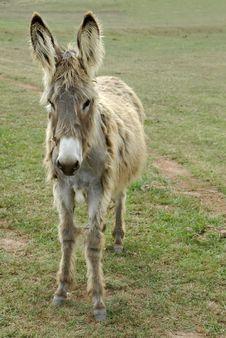 Free Shaggy Donkey Stock Image - 2773791