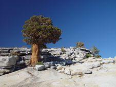 Juniper Tree Royalty Free Stock Images