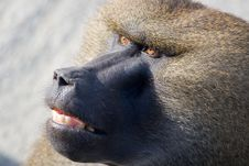 Free Baboon Head Stock Images - 2774054