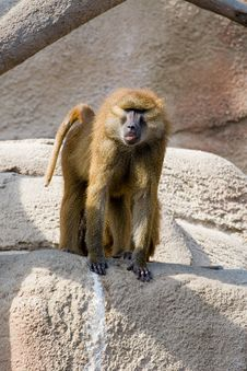 Free Baboon Royalty Free Stock Image - 2774056