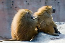 Free Two Baboons Grooming Royalty Free Stock Image - 2774096
