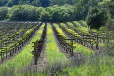 Free Vineyard. Royalty Free Stock Photography - 2774517