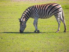 Free Zebra Stock Images - 2775234