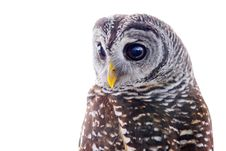 Free Tawny Owl Royalty Free Stock Photo - 2775385