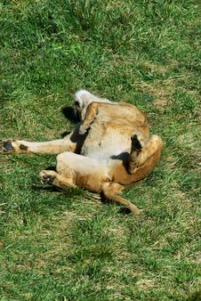 Free Lion Siesta 2 Royalty Free Stock Photos - 2775788